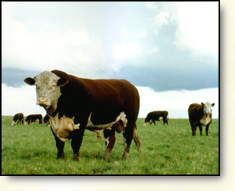 Hereford-Rinder in Saskatchewan/Kanada